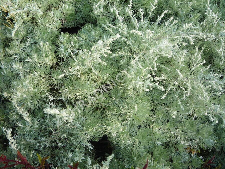 Pelyněk Schmidtův 'Nana' - Artemisia schmidtiana 'Nana'