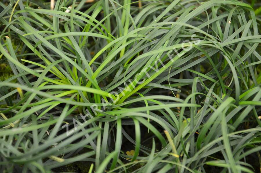 Sedoulek - Ophiopogon chingii