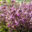 Ožanka kalamandra - Teucrium chamaedrys hortensis