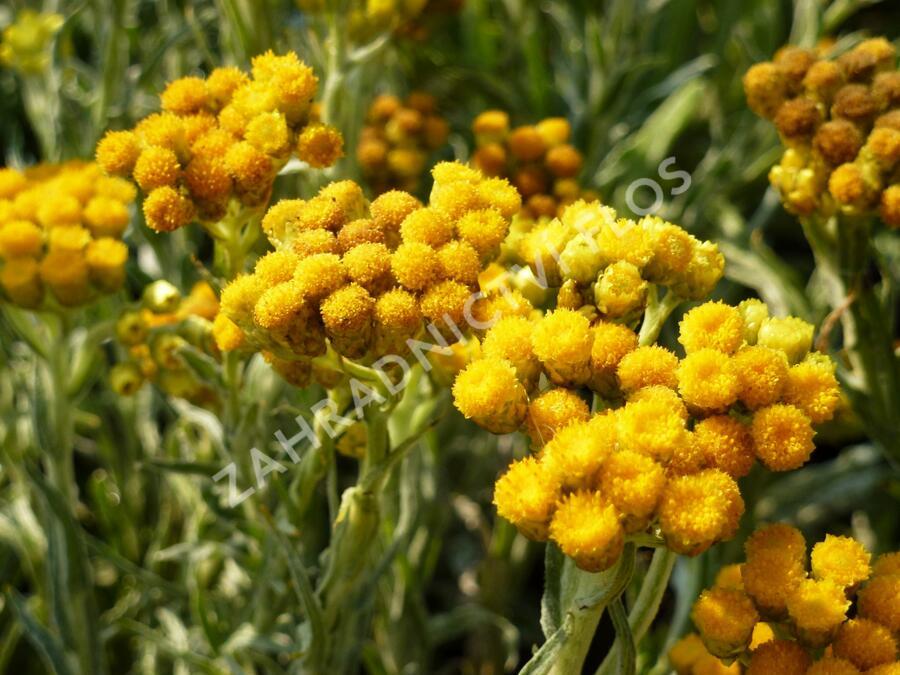 Smil 'Goldkind' - Helichrysum thianshanicum 'Goldkind'