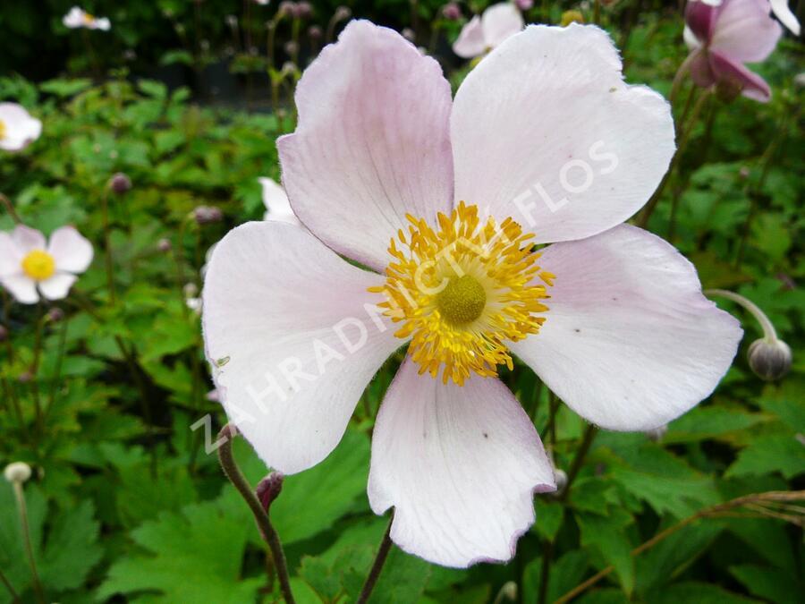 Sasanka 'Pink Saucer' - Anemone hupehensis 'Pink Saucer'