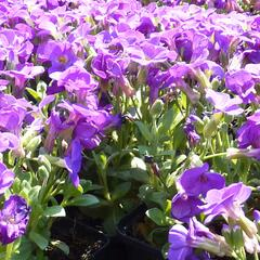 Tařička kosníkovitá 'Chianti Purple' - Aubrieta deltoides 'Chianti Purple'