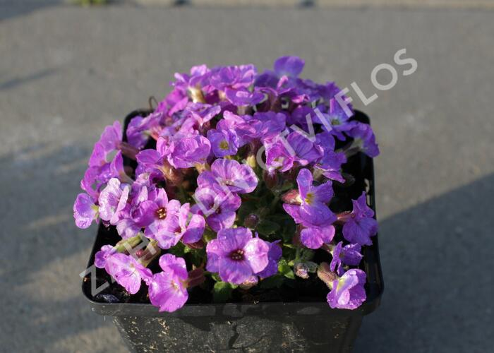 Tařička kosníkovitá 'Axcent Violet with Eye' - Aubrieta deltoides 'Axcent Violet with Eye'