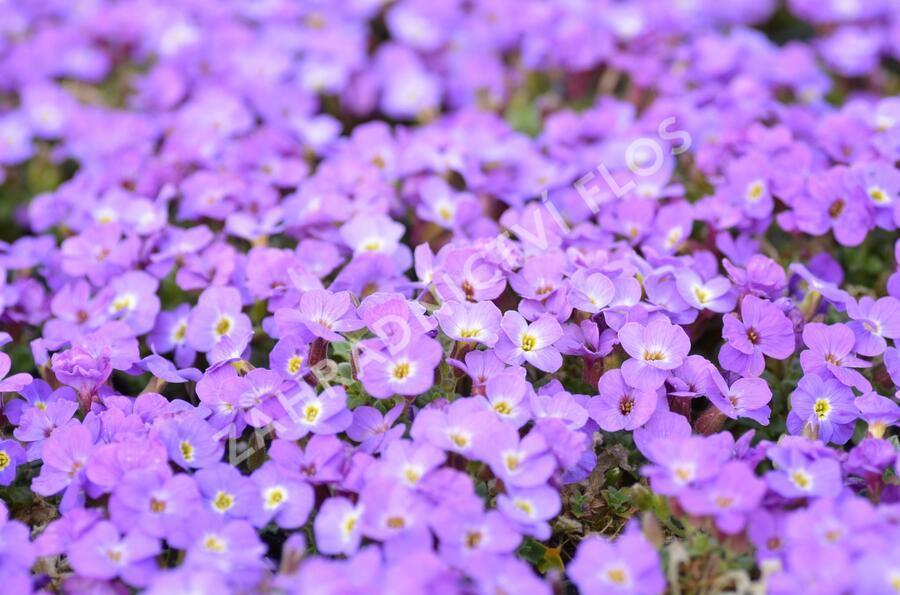 Tařička kosníkovitá 'Axcent Violet with Eye' - Aubrieta deltoides 'Axcent Violet with Eye'