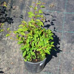 Slivoň vyříznutá 'Midori-zakura' - Prunus incisa 'Midori-zakura'