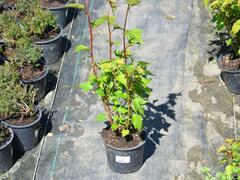Neillovka příbuzná - Neillia affinis