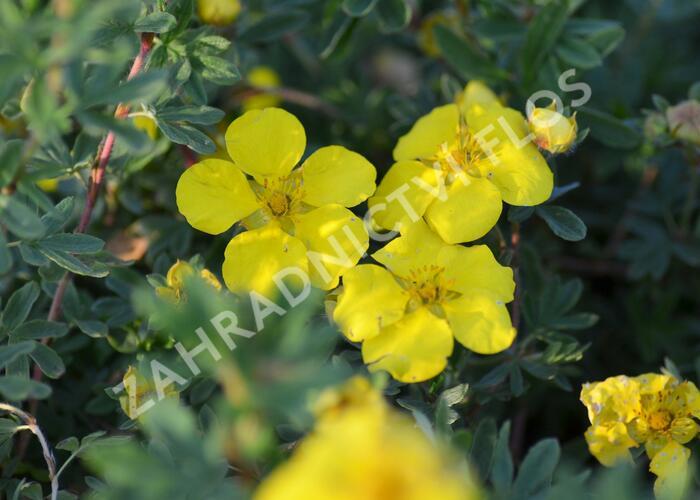 Mochna křovitá 'Goldstar' - Potentilla fruticosa 'Goldstar'