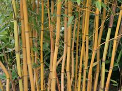 Bambus 'Aureocaulis' - Phyllostachys aureosulcata 'Aureocaulis'