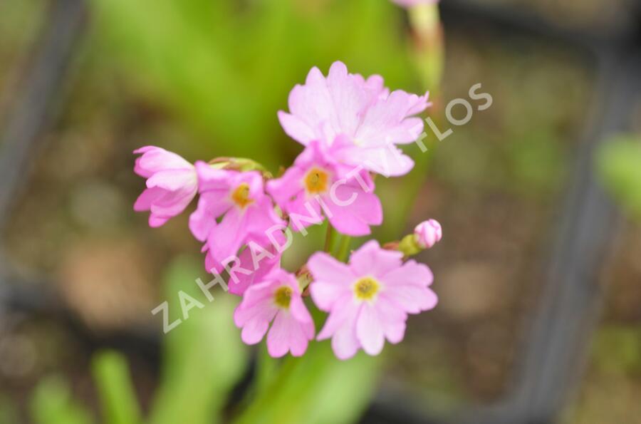 Prvosenka růžová 'Rosy' - Primula rosea 'Rosy'