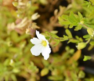 Písečnice horská 'Summer White' - Arenaria montana 'Summer White'
