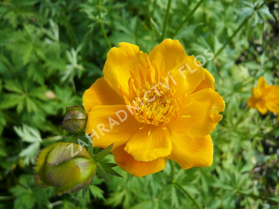 Upolín 'Goldkönigin' - Trollius chinensis 'Goldkönigin'
