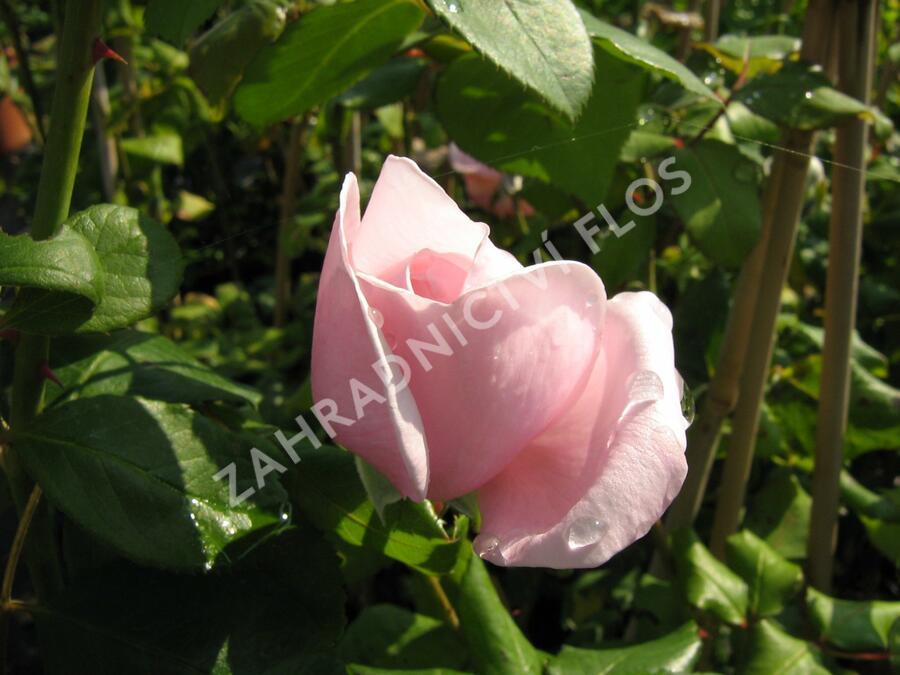 Růže pnoucí 'Nahema' - Rosa PN 'Nahema'