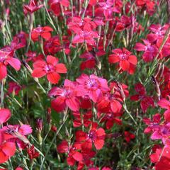 Hvozdík kropenatý 'Leuchtfunk' - Dianthus deltoides 'Leuchtfunk'