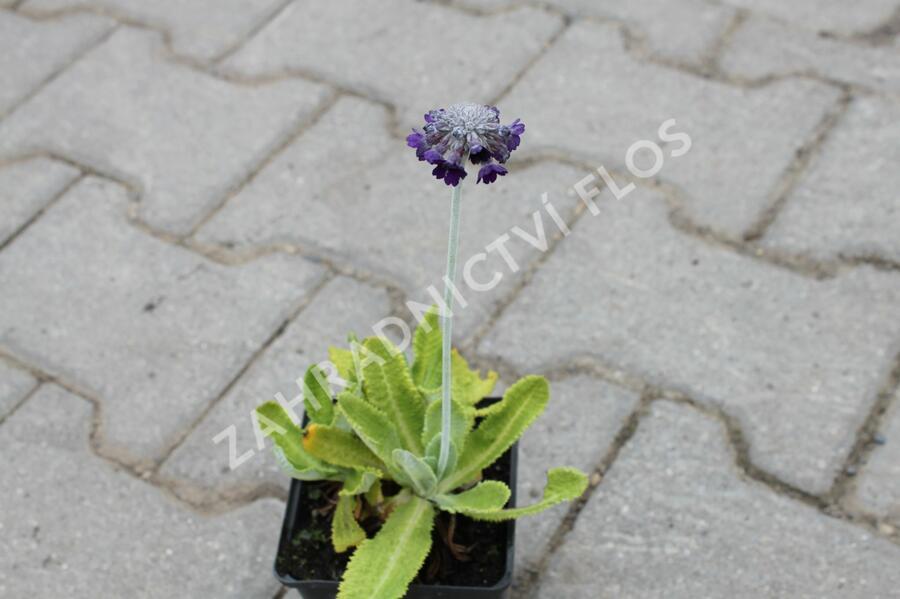 Prvosenka capitata 'Salvana' - Primula capitata 'Salvana'