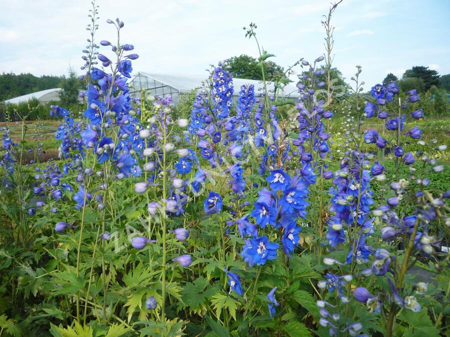 Ostrožka 'Blue Bird' - Delphinium Pacific 'Blue Bird'