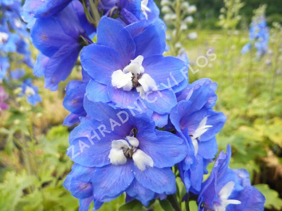 Ostrožka 'Blue Bird' - Delphinium Pacific 'Blue Bird'