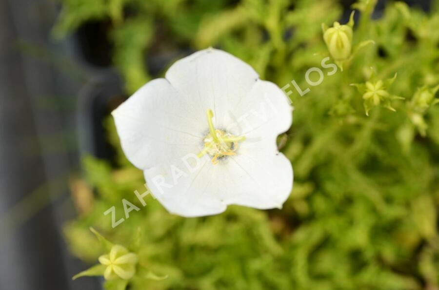 Zvonek karpatský 'White Clips' - Campanula carpatica 'White Clips'