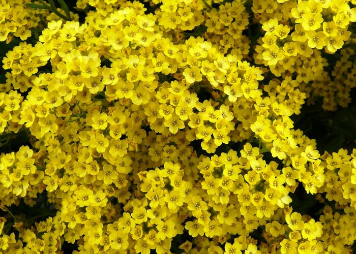 Tařice skalní - Alyssum saxatile