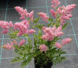 Čechrava Arendsova 'Astary Light Rose' - Astilbe arendsii 'Astary Light Rose'