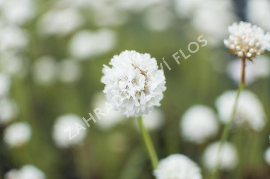 Trávnička přímořská 'Ballerina White' - Armeria maritima 'Ballerina White'