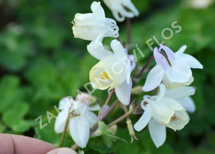 Orlíček vějířovitý 'Cameo White' - Aquilegia flabellata 'Cameo White'