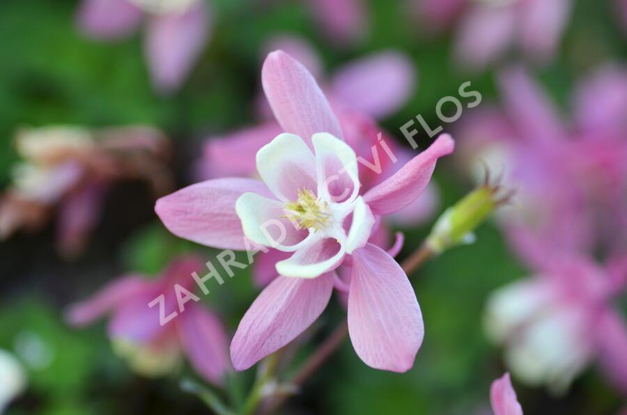 Orlíček vějířovitý 'Cameo Red White' - Aquilegia flabellata 'Cameo Red White'