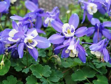 Orlíček vějířovitý 'Cameo Blue White' - Aquilegia flabellata 'Cameo Blue White'