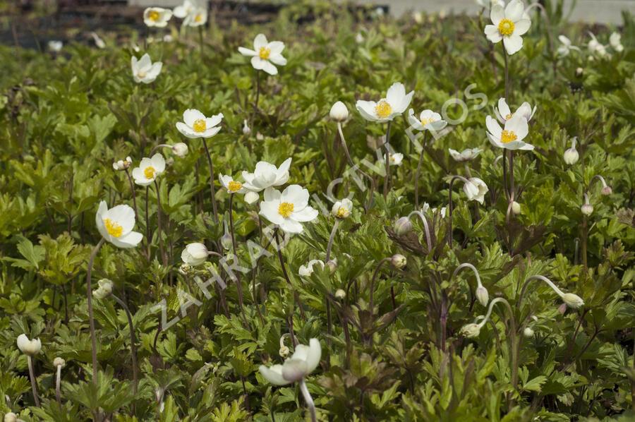 Sasanka lesní - Anemone sylvestris