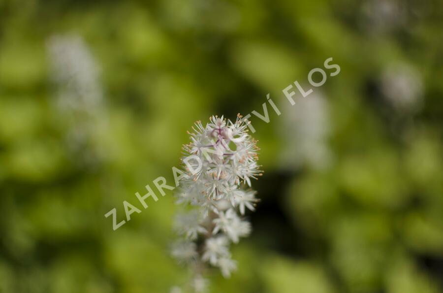 Mitrovnička 'Tiger Stripe' - Tiarella cordifolia 'Tiger Stripe'