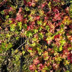 Kakost 'Harz' - Geranium x cantabrigiense 'Harz'