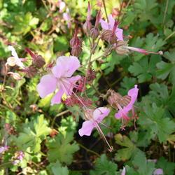 Kakost 'Berggarten' - Geranium x cantabrigiense 'Berggarten'