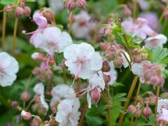 Kakost 'Biokovo' - Geranium x cantabrigiense 'Biokovo'