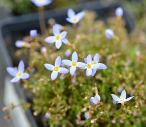 Isotoma - Isotoma fluviatilis