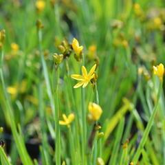 Badil kalifornský - Sisyrinchium californicum
