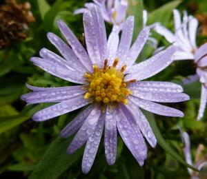 Hvězdnice keříčkovitá 'Blauer Zwerg' - Aster dumosus 'Blauer Zwerg'