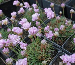 Trávnička trsnatá 'Röschen' - Armeria juniperifolia 'Röschen'