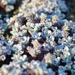 Rozchodník lžičkolistý 'Cape Blanco' - Sedum spathulifolium 'Cape Blanco'