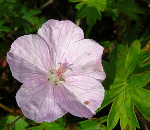 Kakost krvavý 'Vision Hellrosa' - Geranium sanguineum 'Vision Hellrosa'