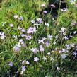 Hvozdík - Dianthus subacaulis