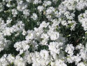 Hvozdík péřitý 'Maischnee' - Dianthus plumarius 'Maischnee'
