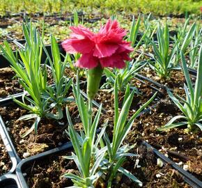 Hvozdík péřitý 'Heidi' - Dianthus plumarius 'Heidi'