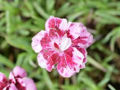 Hvozdík sivý 'Whatfield Gem' - Dianthus gratianopolitanus 'Whatfield Gem'