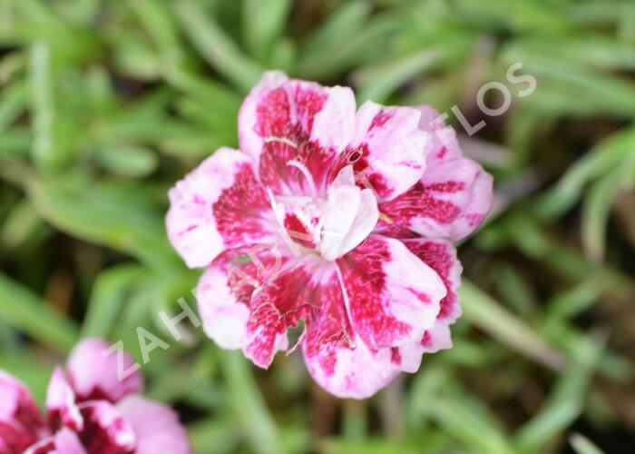 Hvozdík sivý 'Whatfield Gem' - Dianthus gratianopolitanus 'Whatfield Gem'