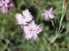 Hvozdík sivý 'Rosafeder' - Dianthus gratianopolitanus 'Rosafeder'