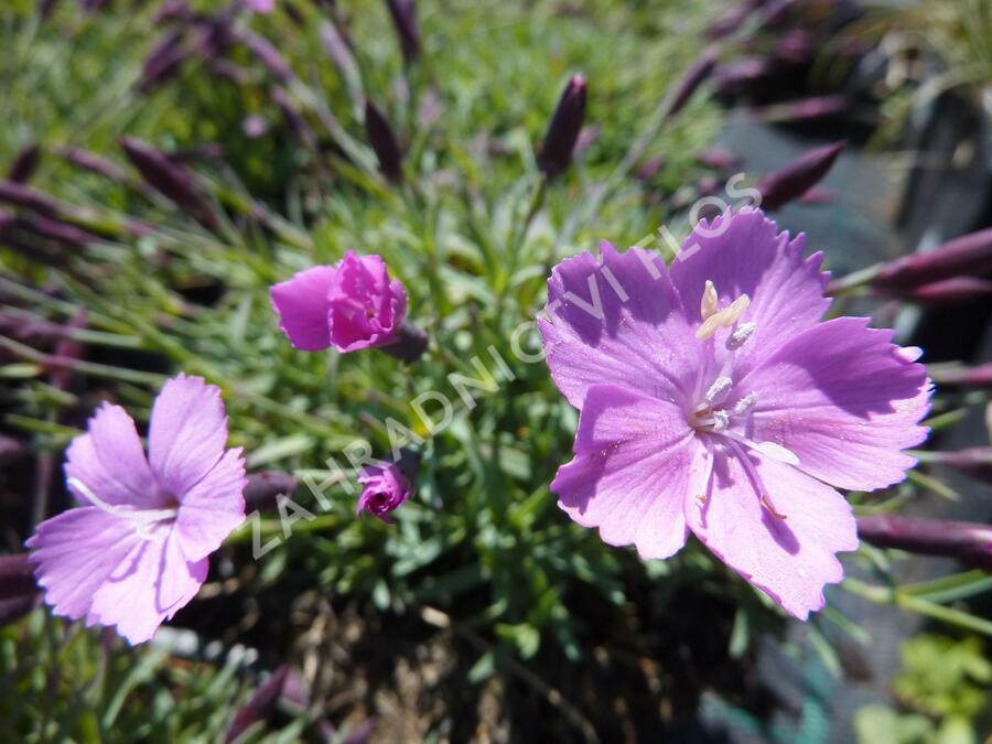 Hvozdík sivý 'La Bourboule' - Dianthus gratianopolitanus 'La Bourboule'