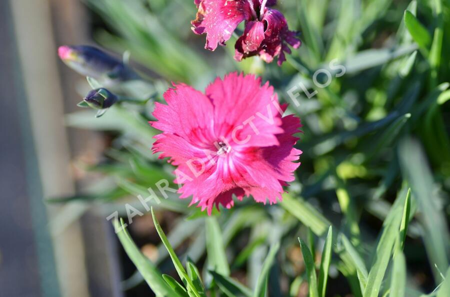 Hvozdík sivý 'Grandiflorus' - Dianthus gratianopolitanus 'Grandiflorus'