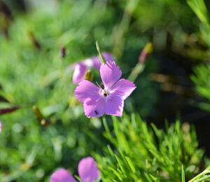 Hvozdík 'Flos' - Dianthus 'Flos'