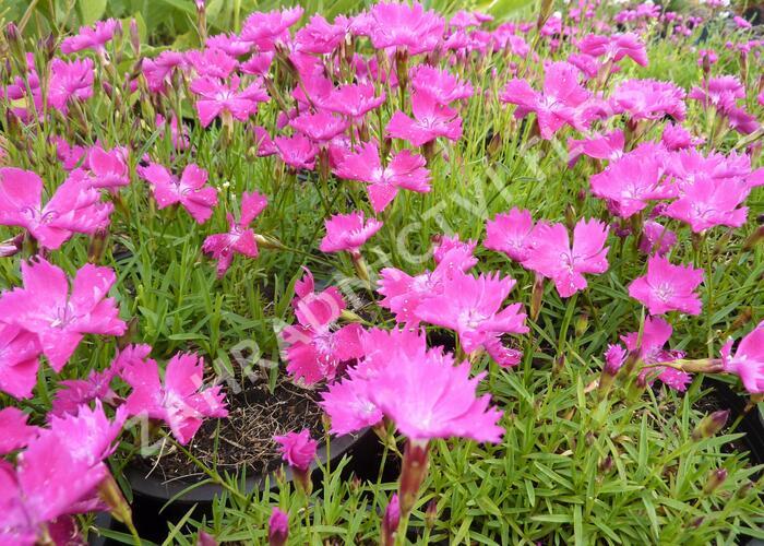 Hvozdík karafiát 'Kahori' - Dianthus caryophyllus 'Kahori'
