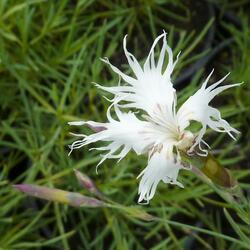 Hvozdík písečný - Dianthus arenarius