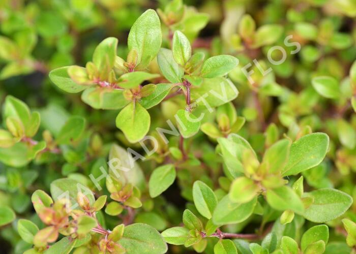 Mateřídouška - Thymus x citriodorus
